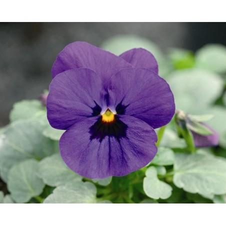 Seminte Viola cornuta Callisto F1 Blue Blotch