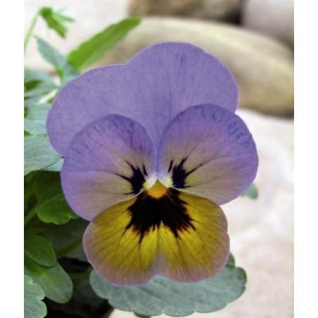 Seminte Viola cornuta Callisto F1 Blue Butterfly