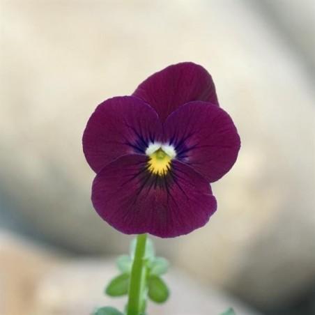 Seminte Viola cornuta Callisto F1 Carmine