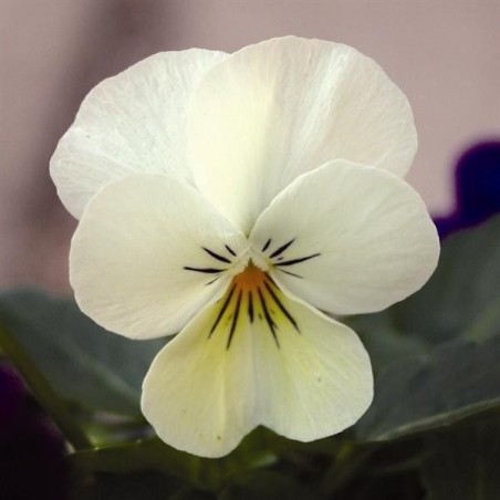 Seminte Viola cornuta Callisto F1 Cream