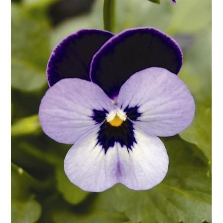 Seminte Viola cornuta Callisto F1 Denim