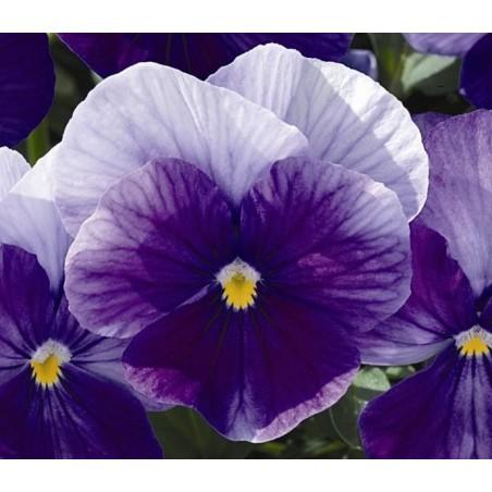 Seminte Viola cornuta Callisto F1 Lavender Shades