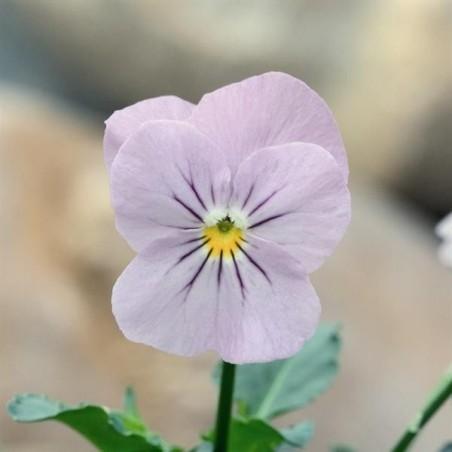 Seminte Viola cornuta Callisto F1 Lilac Ice