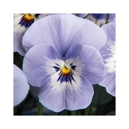 Seminte Viola cornuta Callisto F1 Marina