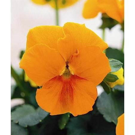 Seminte Viola cornuta Callisto F1 Orange