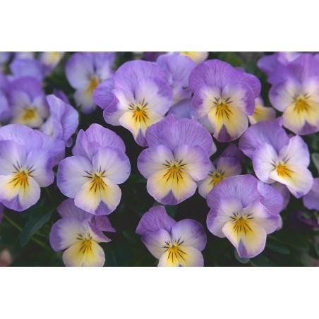 Seminte Viola cornuta Callisto F1 Pink Lemon