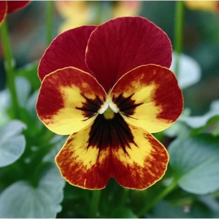 Seminte Viola cornuta Callisto F1 Outback Fire
