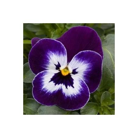 Seminte Viola cornuta Callisto F1 Purple Face