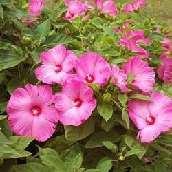 Hibiscus moscheutos Luna F1 Pink