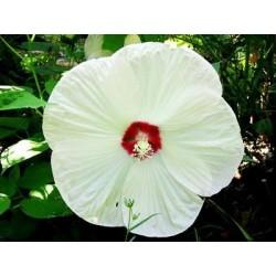 Hibiscus moscheutos Luna F1 White
