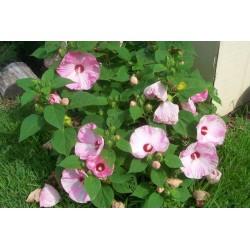 Hibiscus moscheutos Luna F1 Pink Swirl