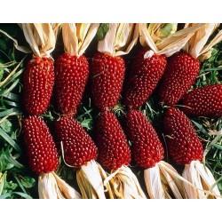 Seminte Zea mays Baby Corn Red