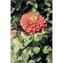 Seminte Zinnia elegans Dahlia Flowered Hallo