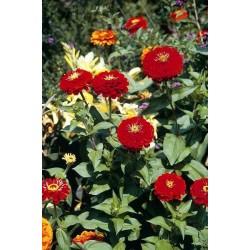 Seminte Zinnia elegans Dahlia Flowered Scarlet Flame