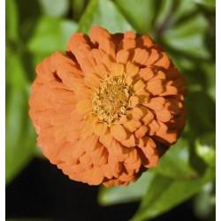 Seminte Zinnia elegans Pompon Orange Gem