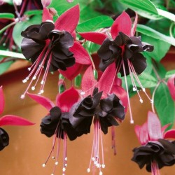 Fuchsia Blacky pack 10