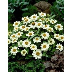 Seminte Zinnia angustifolia Star White