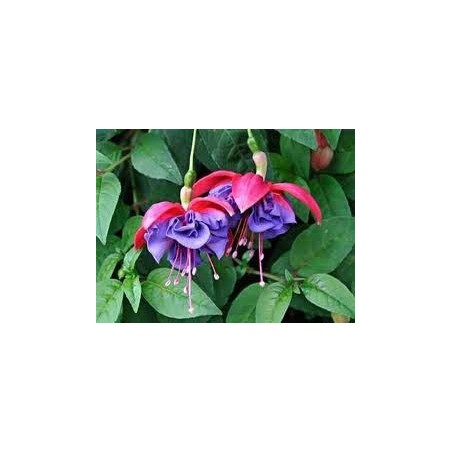 Fuchsia Charlie Dimmock