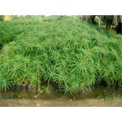 Seminte Cyperus alternifolius