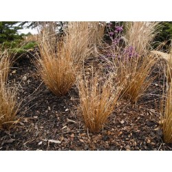Seminte Carex buchananii Red Rooster