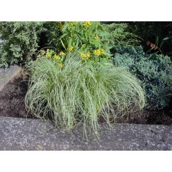 Seminte Carex comans Amazon Mist