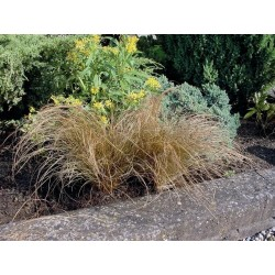 Seminte Carex flagellata Bronzita