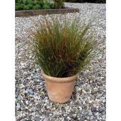 Seminte Carex testacea Prairie Fire