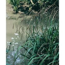 Seminte Carex pendula