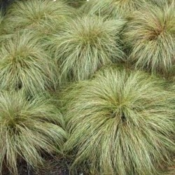Seminte Carex comans Frosted Curls