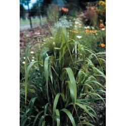 Seminte Eragrostis spectabilis