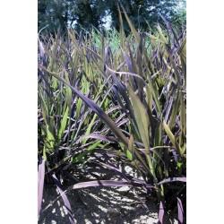 Seminte Oryza sativa Black Madras