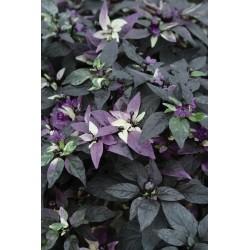 Seminte Capsicum annuum Purple Flash