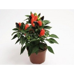 Seminte Capsicum annuum Cubana F1 Deep Orange