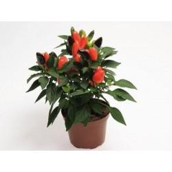 Seminte Capsicum annuum Cubana F1 Deep Orange