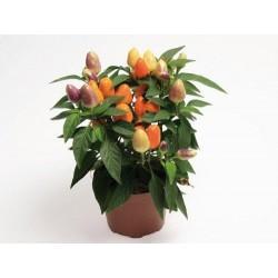Seminte Capsicum annuum Cubana F1 Multicolor Orange