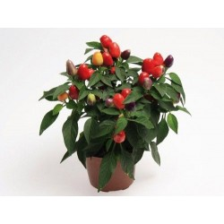 Seminte Capsicum annuum Cubana F1 Multicolor Red