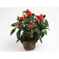 Seminte Capsicum annuum Cubana F1 Multicolor Red
