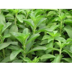 Seminte Stevia rebaudiana Sweet Honey