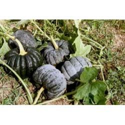 Seminte Dovleac - Cucurbita moschata Futsu Black