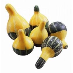 Seminte Dovleac - Cucurbita pepo Pear Bicolour