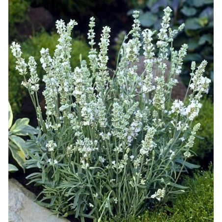"Lavandula angustifolia ""Ellagance Ice"""