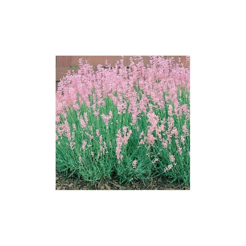 "Lavandula angustifolia ""Rosea"""