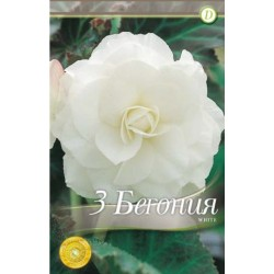 Begonia bulbi Double White