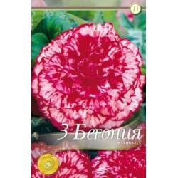 Begonia bulbi Marmorata