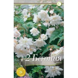 Begonia bulbi Illumination White