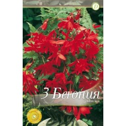 Begonia bulbi Pendula Dark Red
