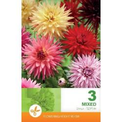 Dahlia cactus bulbi 'mix'