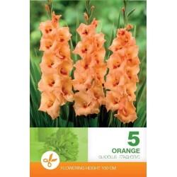 Gladiole bulbi Orange