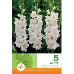 Gladiole bulbi White