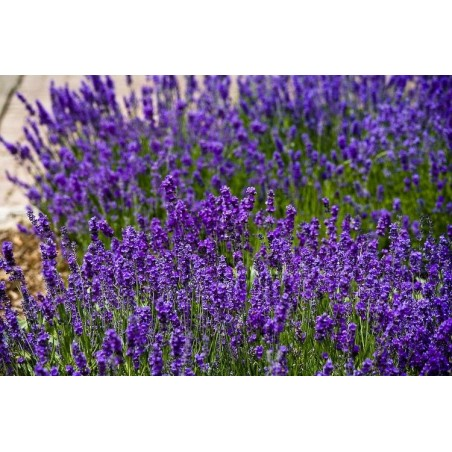 "Lavandula angustifolia ""Lavance Purple"""